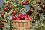 maçã (95)