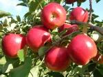 maçã (96)