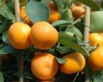 tangerina (07)