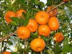 tangerina (09)