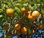 limão-cravo (03)