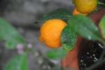 limão-cravo (04)