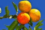 limão-cravo (90)