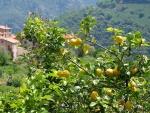 limão-siciliano (01)