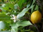 limão-siciliano (02)