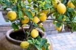 limão-siciliano (03)