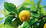 limão-siciliano (04)