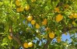 limão-siciliano (05)