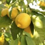 limão-siciliano (06)