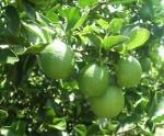 limão-tahiti (01)