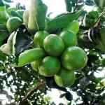 limão-tahiti (04)