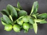 limão-tahiti (05)