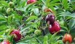 cereja-do-rio-grande (02)