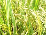 arroz (03)