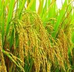 arroz (04)