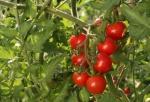 tomate (01)