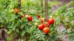 tomate (02)