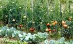 tomate (03)