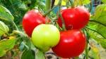 tomate (06)