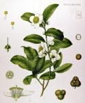 chá (96)