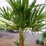 palmeira-rápis (04)