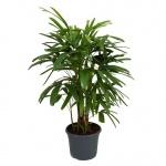 palmeira-rápis (05)