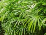 palmeira-rápis (06)