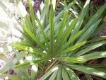 palmeira-rápis (09)