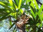 palmeira-rápis (10)