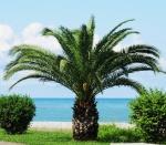 palmeira-fênix (09)