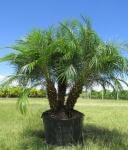palmeira-fênix (10)