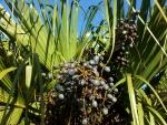 palmeira-leque - Livistona (07)