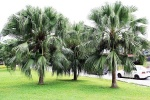 palmeira-leque - Livistona (09)