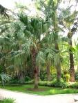 palmeira-leque - Livistona (10)