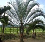 palmeira-triângulo (01)