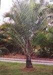 palmeira-triângulo (06)