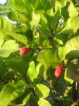fruta-milagre (02)