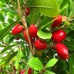fruta-milagre (06)