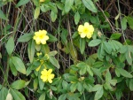 jasmim-amarelo (26) - Jasminum mesnyi.jpg
