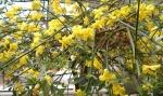 jasmim-amarelo (27) - Jasminum mesnyi.jpg