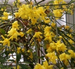 jasmim-amarelo (30) - Jasminum mesnyi.jpg