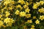 jasmim-amarelo (31) - Jasminum mesnyi.jpg
