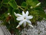 jasmim-árabe (22) - Jasminum sambac.jpg