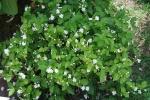 jasmim-árabe (24) - Jasminum sambac.jpg