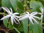 jasmim-estrela (8) - Jasminum nitidum.jpg