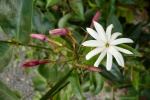 jasmim-estrela (9) - Jasminum nitidum.jpg