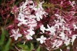 jasmim-rosa (42) - Jasminum polyanthum.jpg