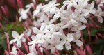 jasmim-rosa (43) - Jasminum polyanthum.jpg