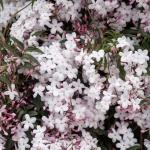 jasmim-rosa (44) - Jasminum polyanthum.jpg