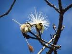 embiruçu (P.grandiflorum) (1)